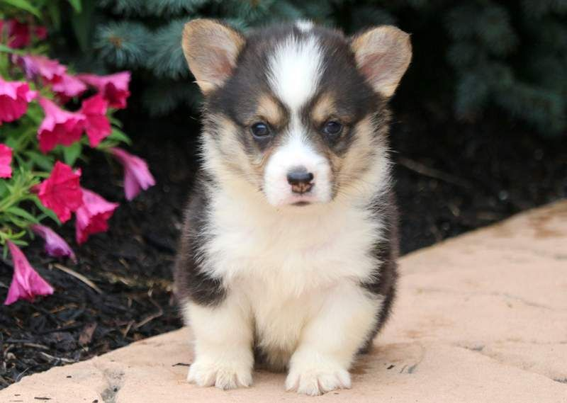 Lance Welsh Corgi Puppies Pembroke Welsh Corgi Puppies Corgi
