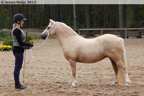 Welsh Mountain Pony (section A) - mare Windwillow Kittiwake