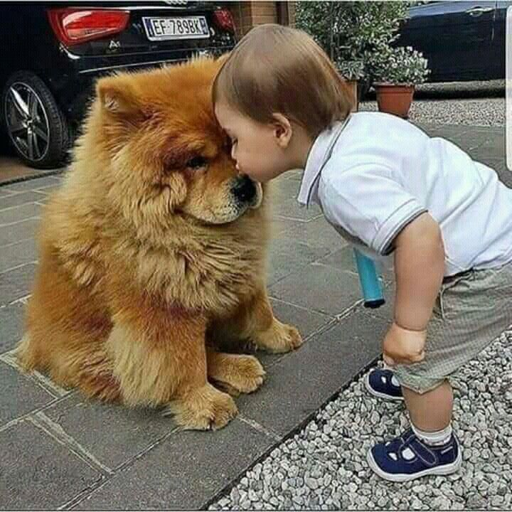 Pin By Prachi Lata On Chow Chow Cute Baby Animals Cute Animals Dogs And Kids