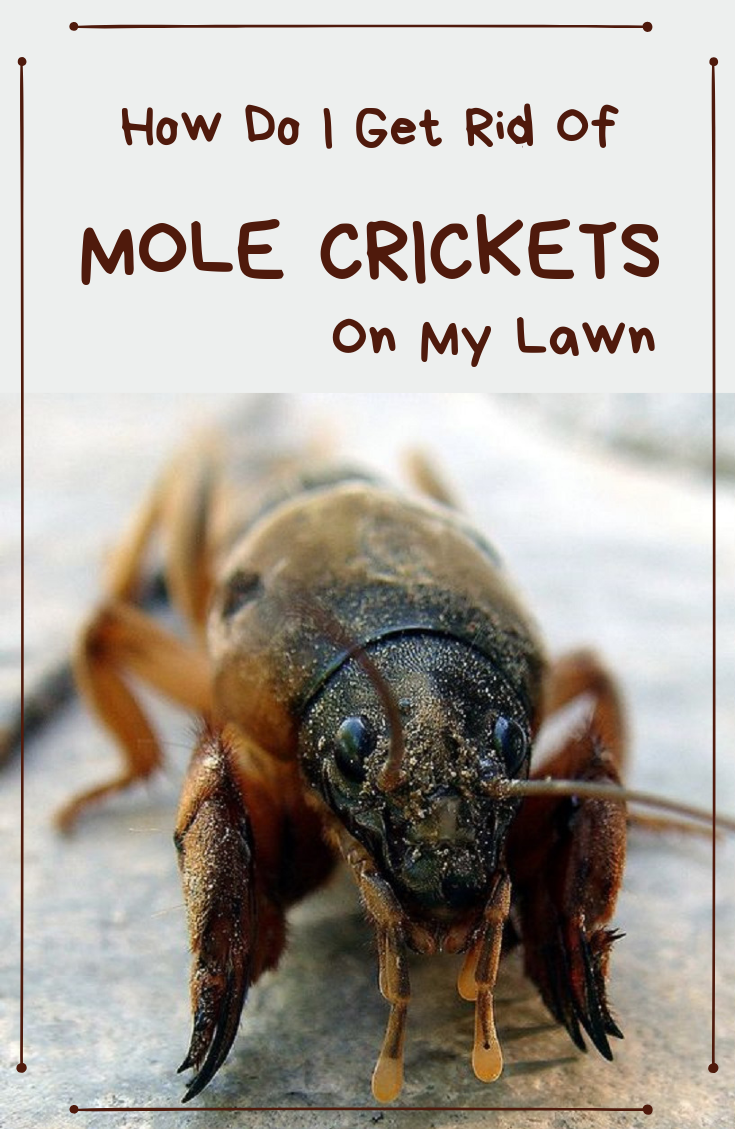 How Do I Get Rid Of Mole Crickets On My Lawn Mole Cricket Mole Cricket