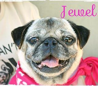 Jewel Pug Rescue Of Austin Adopt A Pug Pug Rescue Pugs Pugs