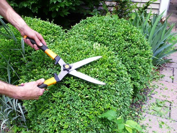 Shrubbery And Pufferfish Rather Square Boxwood Landscaping Yew Shrub Boxwood Garden