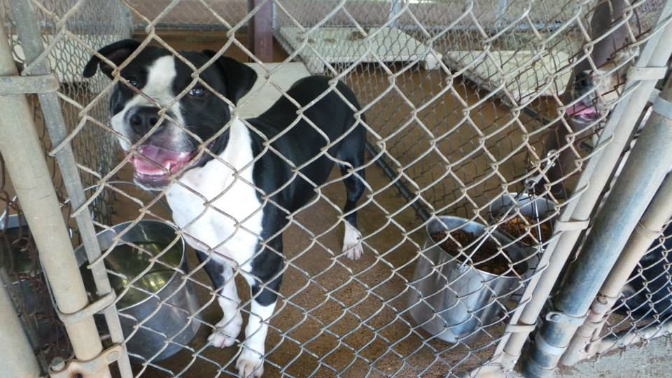 Henderson TX Animal Shelter October 14 ·     #059 is our pretty Pitt mix boy and the employees say he's a very good dog. Please consider helping him get out. For more information please contact the shelter at 903-657-7651. This page is maintained by volunteers.