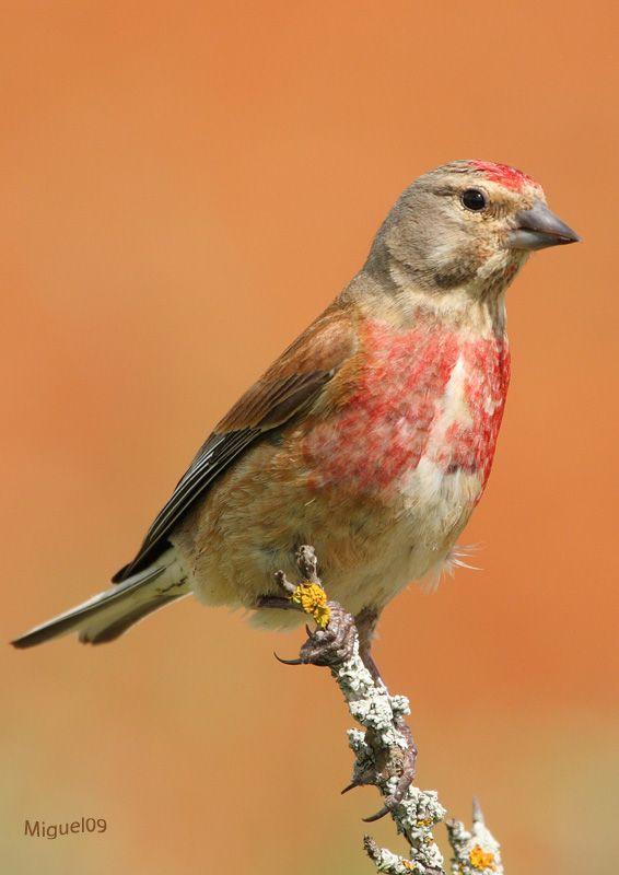 Eurasian Linnet Pajaros Silvestres Pardillo Aves Pajaros
