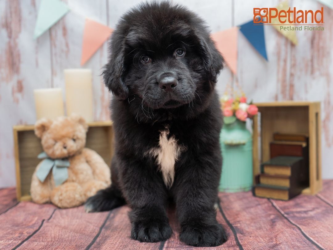 Petland Florida Has Newfoundland Puppies For Sale Check Out All Our Available Puppies Newfoundland Puppy Doglover Adorable Do