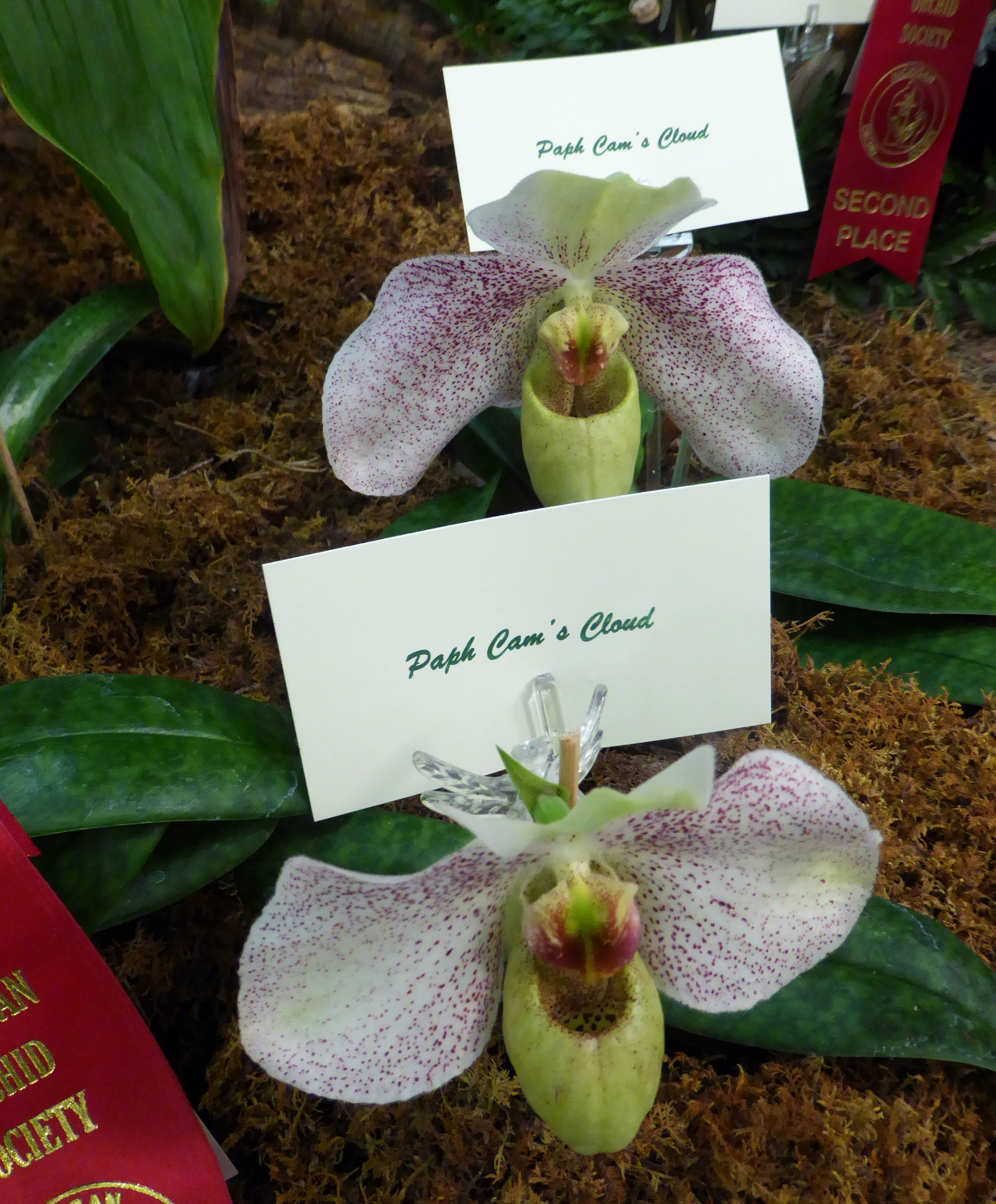 Paph Cam's Cloud orchid  Creamed colored petals, with a