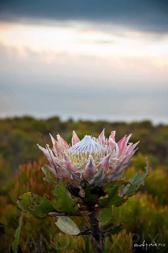 Andy Nix Pix Wholehearted Photography Single Large Pink And White Flower King Protea Protea Cynaroides Grow Protea Flower Flower Painting Flower Photos