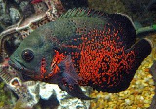 Ampuh Astronotus Astronotus Ocellatus Ikan Hias Ikan Oscar Macam Macam Teknik Mancing Makanan Ikan Oskar Ragam Rahasia Umpan Resep Umpa Ikan Oscar Makanan Ikan