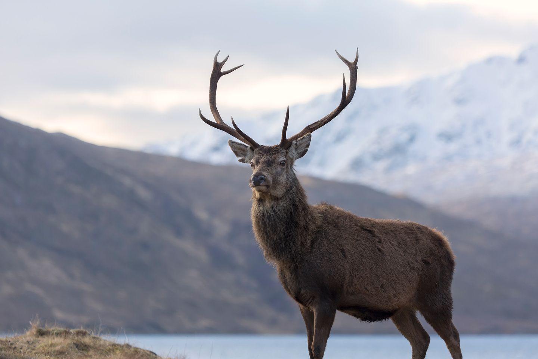 Deer And Stags Red Deer Stag In Highland Scotland Red Deer Canada Wildlife Scotland Landscape