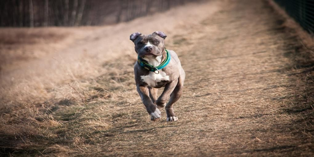 Best dog food for pitbulls reviews top 5