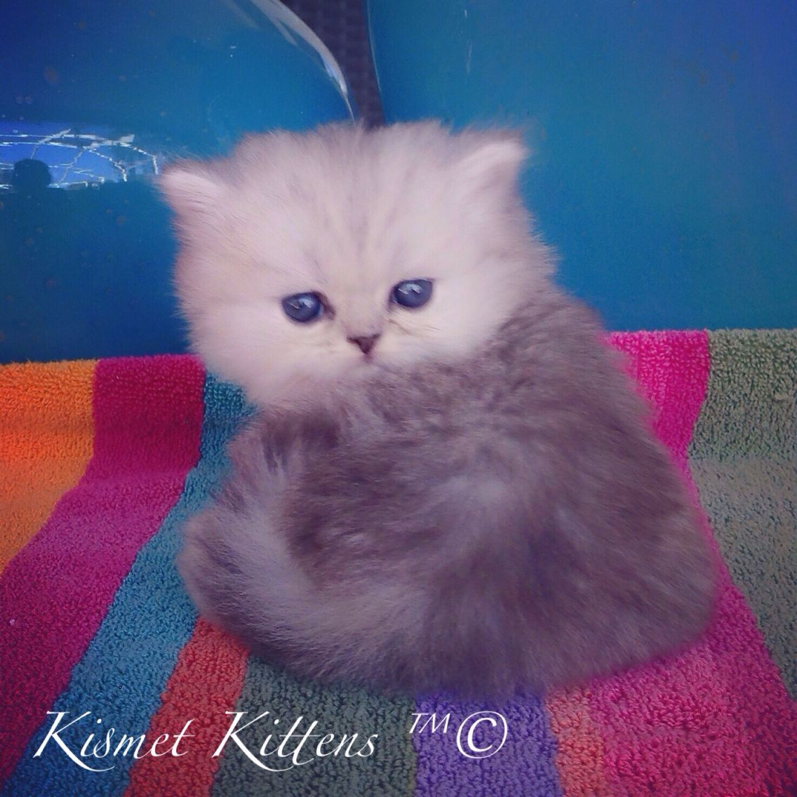 Kismet Kittens Ex Small Teacup Silver Shaded Persian Doll