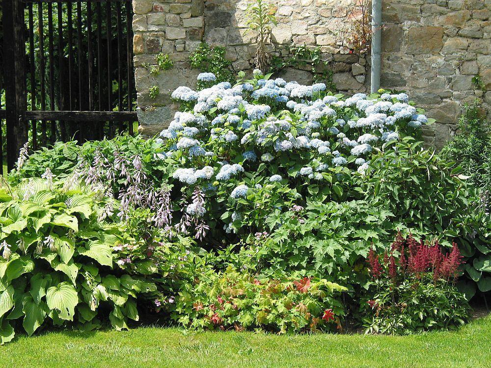 hortensien im botanischen garten von coutances in der. Black Bedroom Furniture Sets. Home Design Ideas