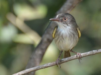 Pearly-vented Tody-tyrant (Hemitriccus margaritaceiventer)