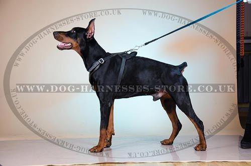 Doberman Harness Of Smooth Design For Walks Training Dog