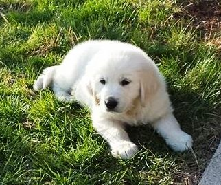 Hattrick 2 Months He S A White Golden Retriever From Ohio