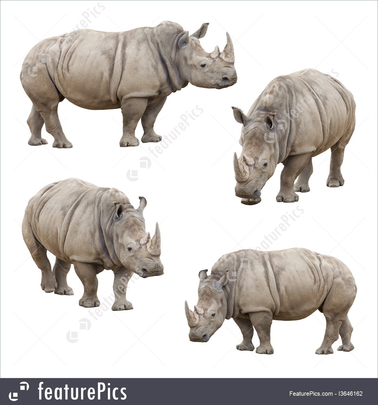 Wildlife Animals: Set of Four Rhinoceros Isolated on a White Background.