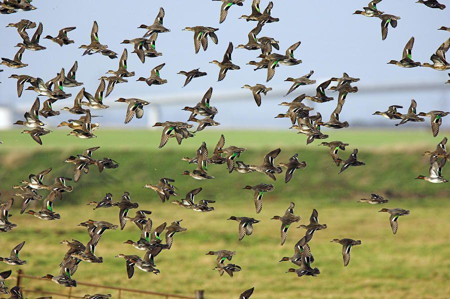 скачать игру Flock - фото 3