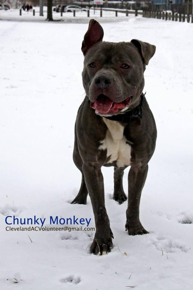 Safe With Berea Animal Rescue Chunky Monkey Is A 3 4 Y O 55 Lb