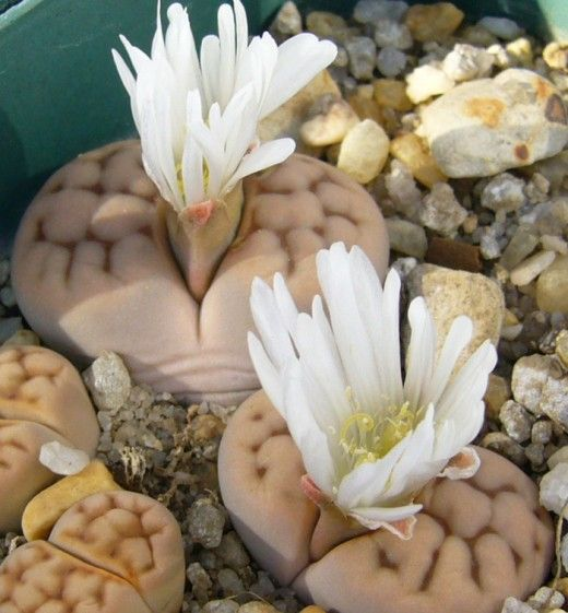 Lithops Julii (flowering from a brain- should be the translation)