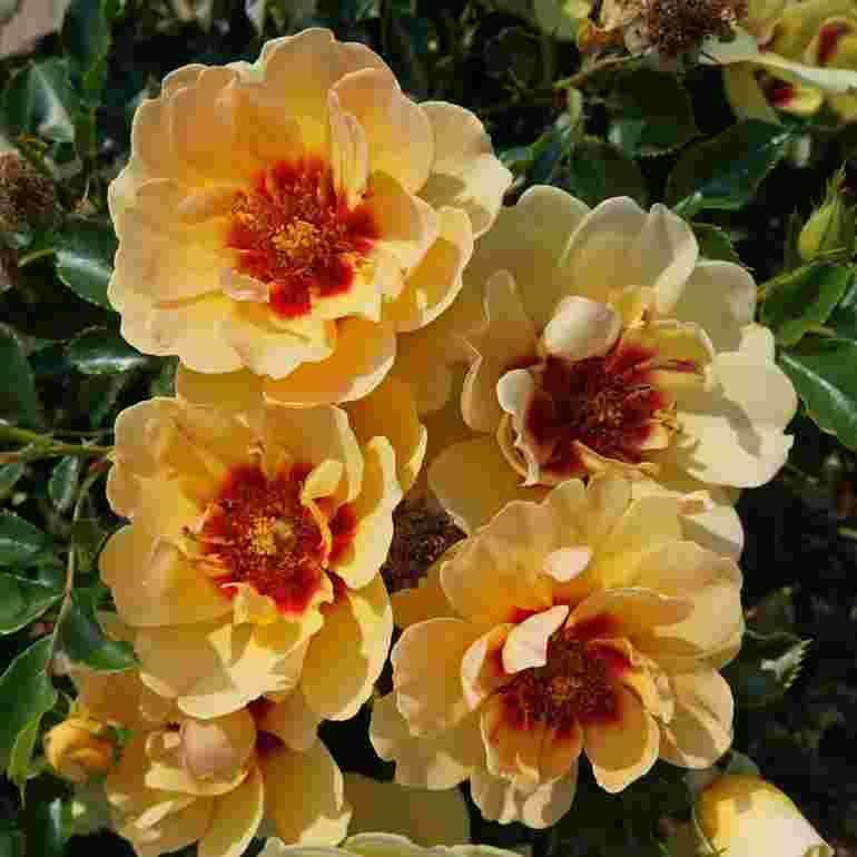 Roza Maja Babylon Eyes Intereybabjam Uprawa Pielegnacja Wymagania Zielony Ogrodek Plants Flora Babylon