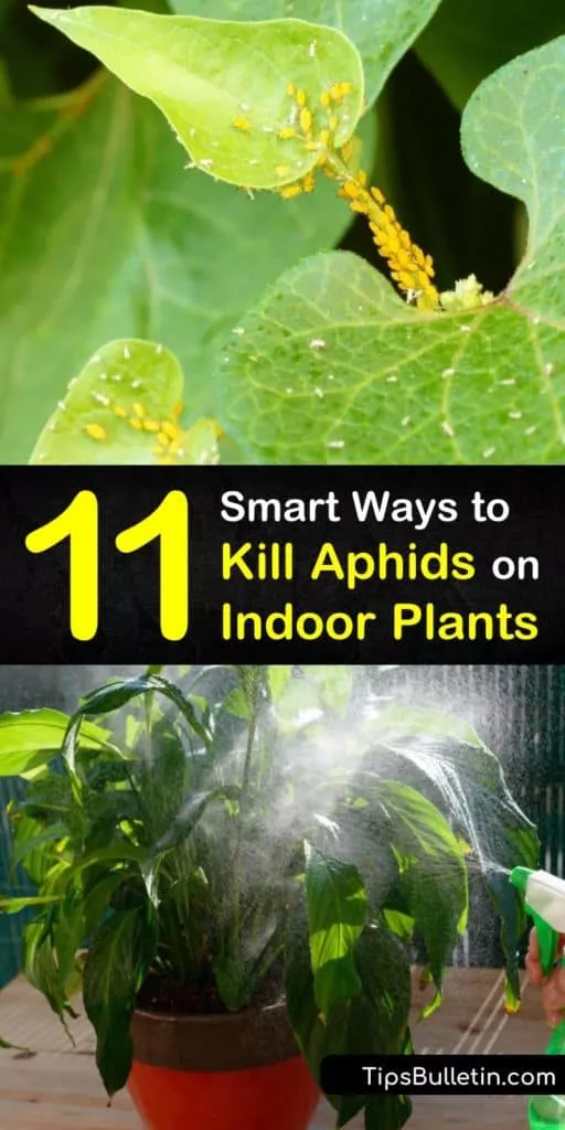 11 Smart Ways To Kill Aphids On Indoor Plants In 2020 Plant Pests Aphids On Plants Aphids
