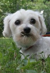 Frosty is an adoptable Maltese Dog in Maryland Line, MD. Frosty is a sweet, shy girl who recently got out of the puppy mill. This 7-year-old is warming up needs a home to show her the ropes. She's so ...