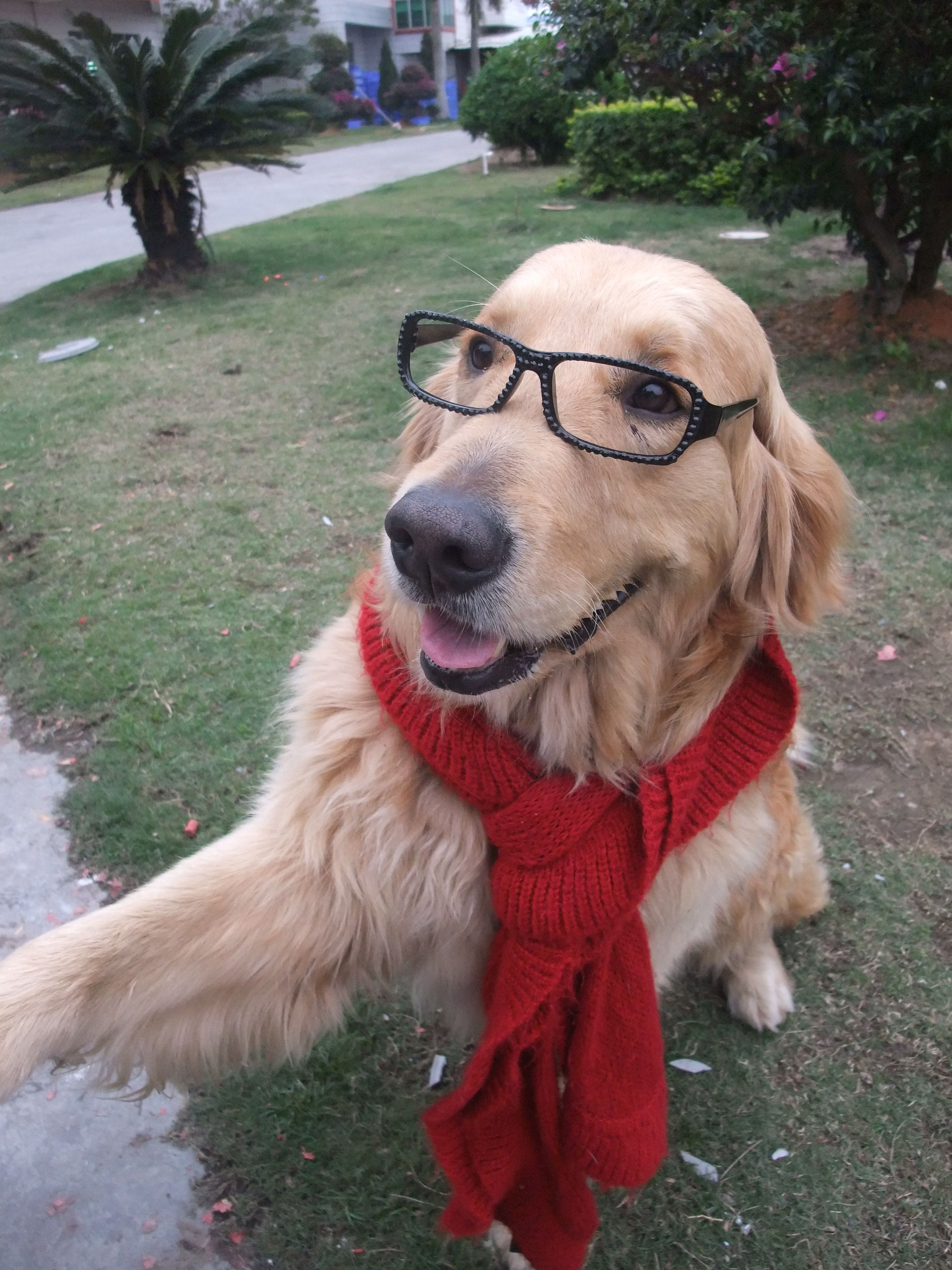 Golden Retriever Rocky Who Loves To Dress Up N Take Pictures