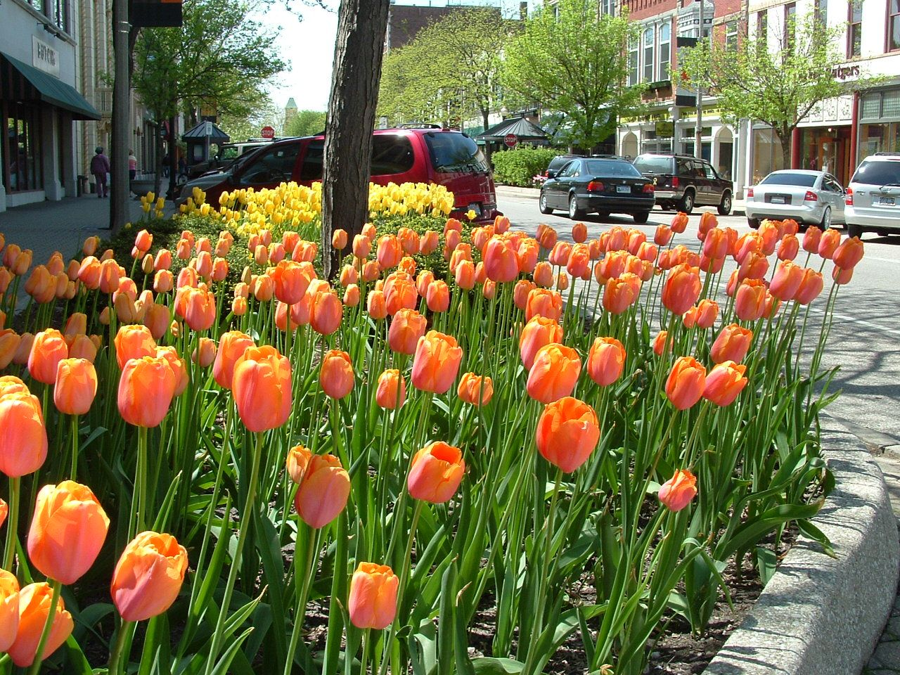 holland michigan Tulip beds in downtown Holland