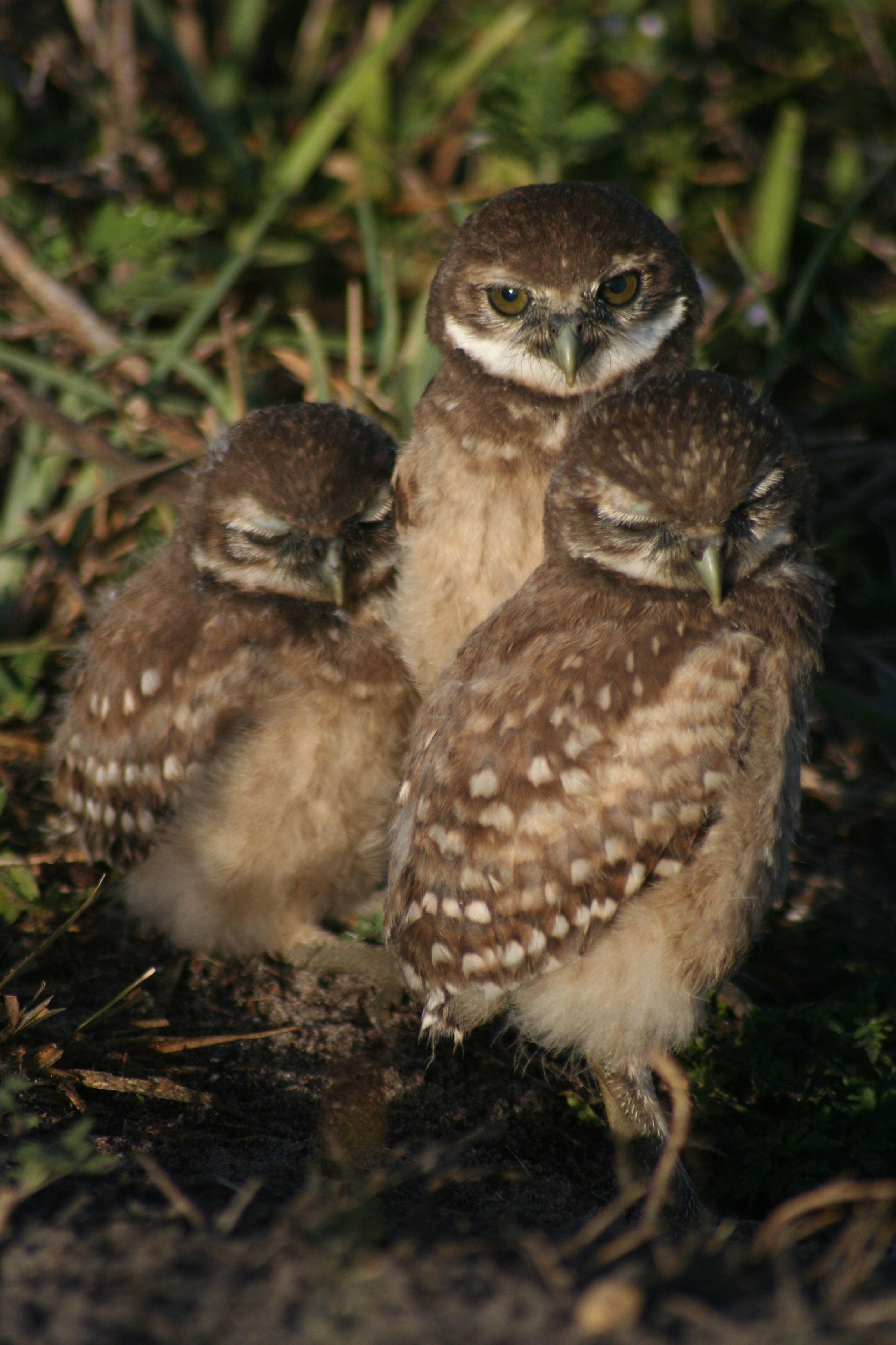 Burrowing owlets cuddling Animals, Burrowing owl, Owl