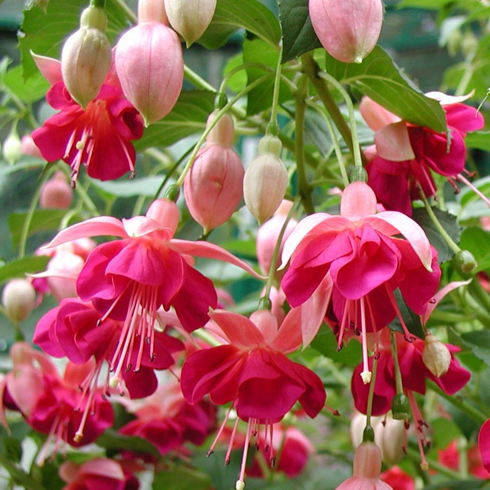 Fuchsia Garden News J Parker Dutch Bulbs Fuchsia Garden Garden News Fuchsia Plant