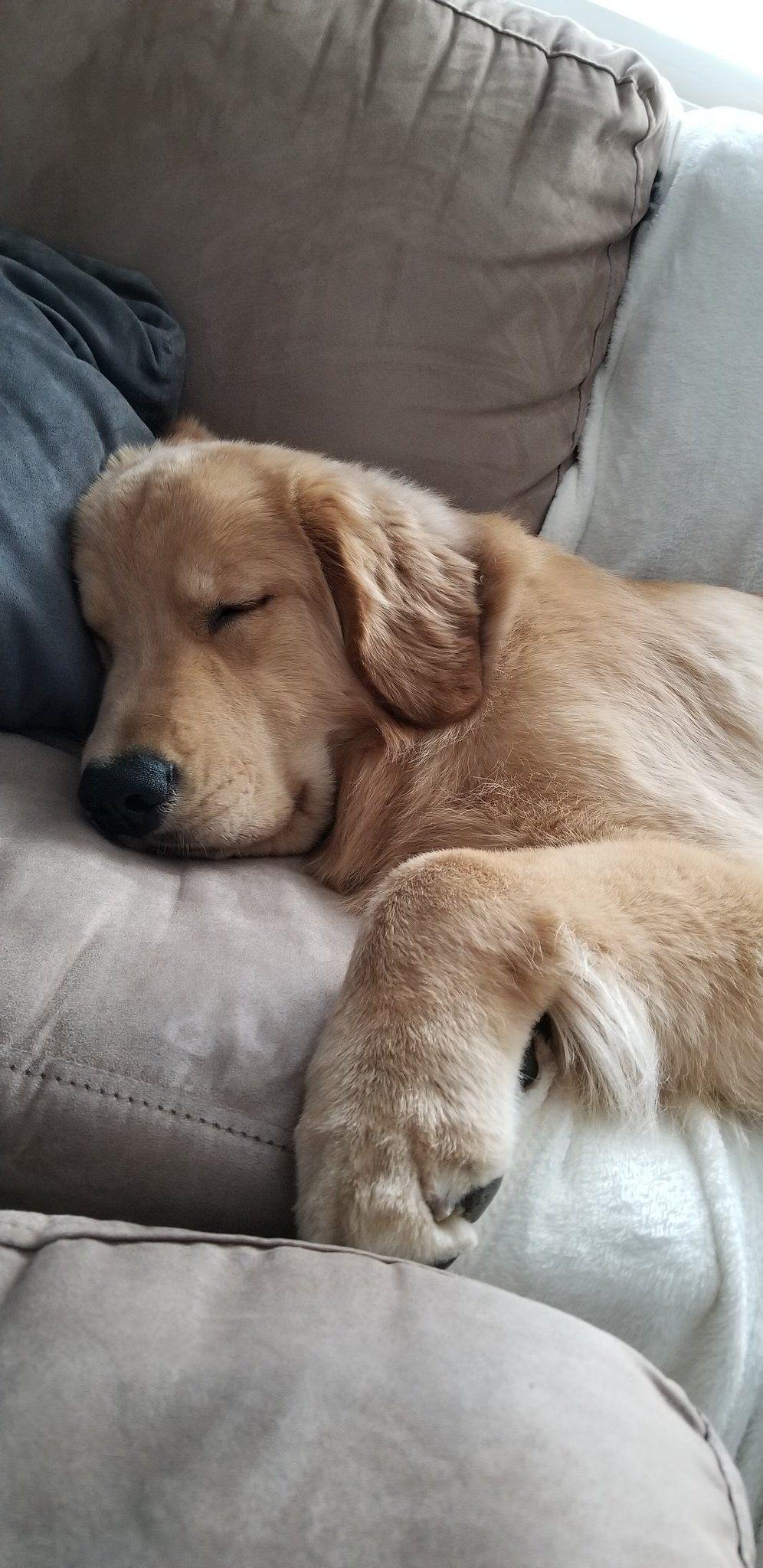 Tucker Budzyn (tuckerbudzyn) / Twitter Retriever puppy