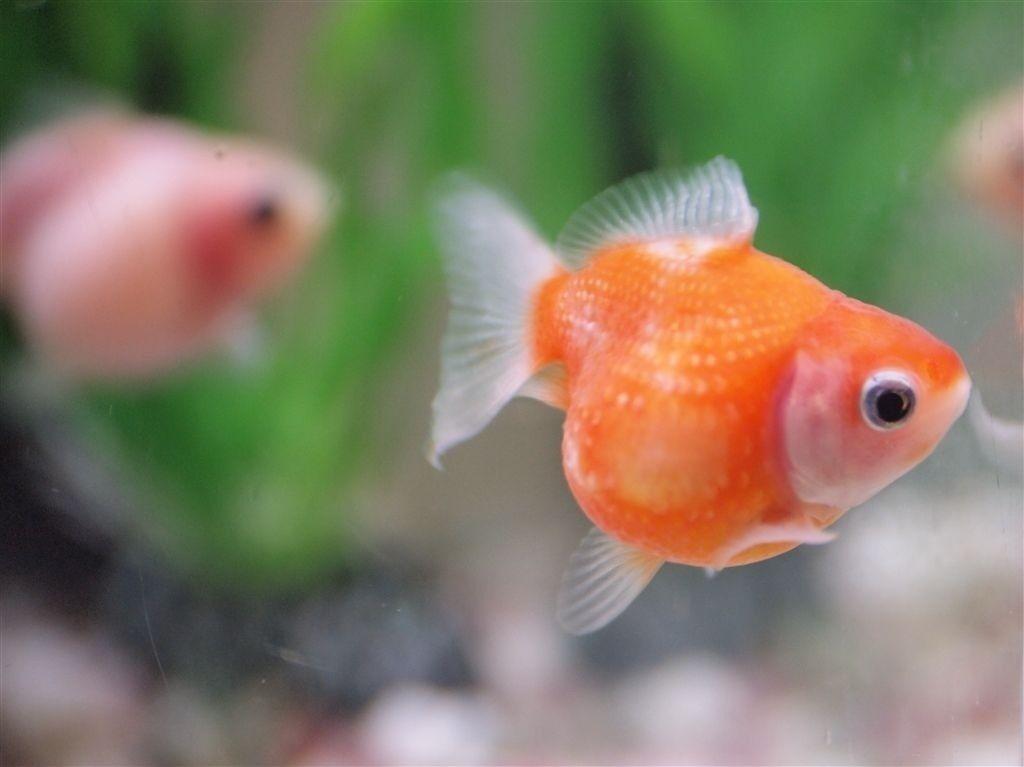 Goldfish Ping Pong Variety Goldfish Goldfish Species Aquarium Fish