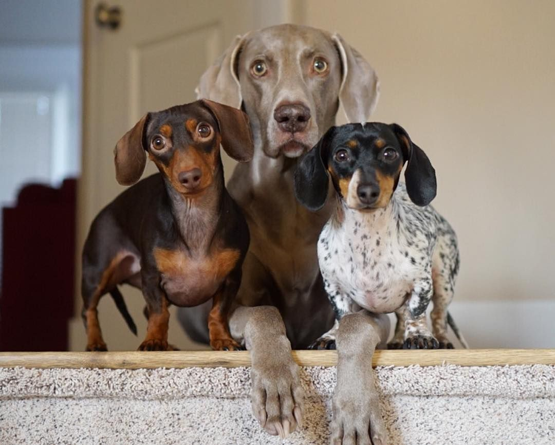 Harlow Sage Indiana Reese On Instagram Welcome Home Human Weenie Dogs Cute Dogs Dog Lovers