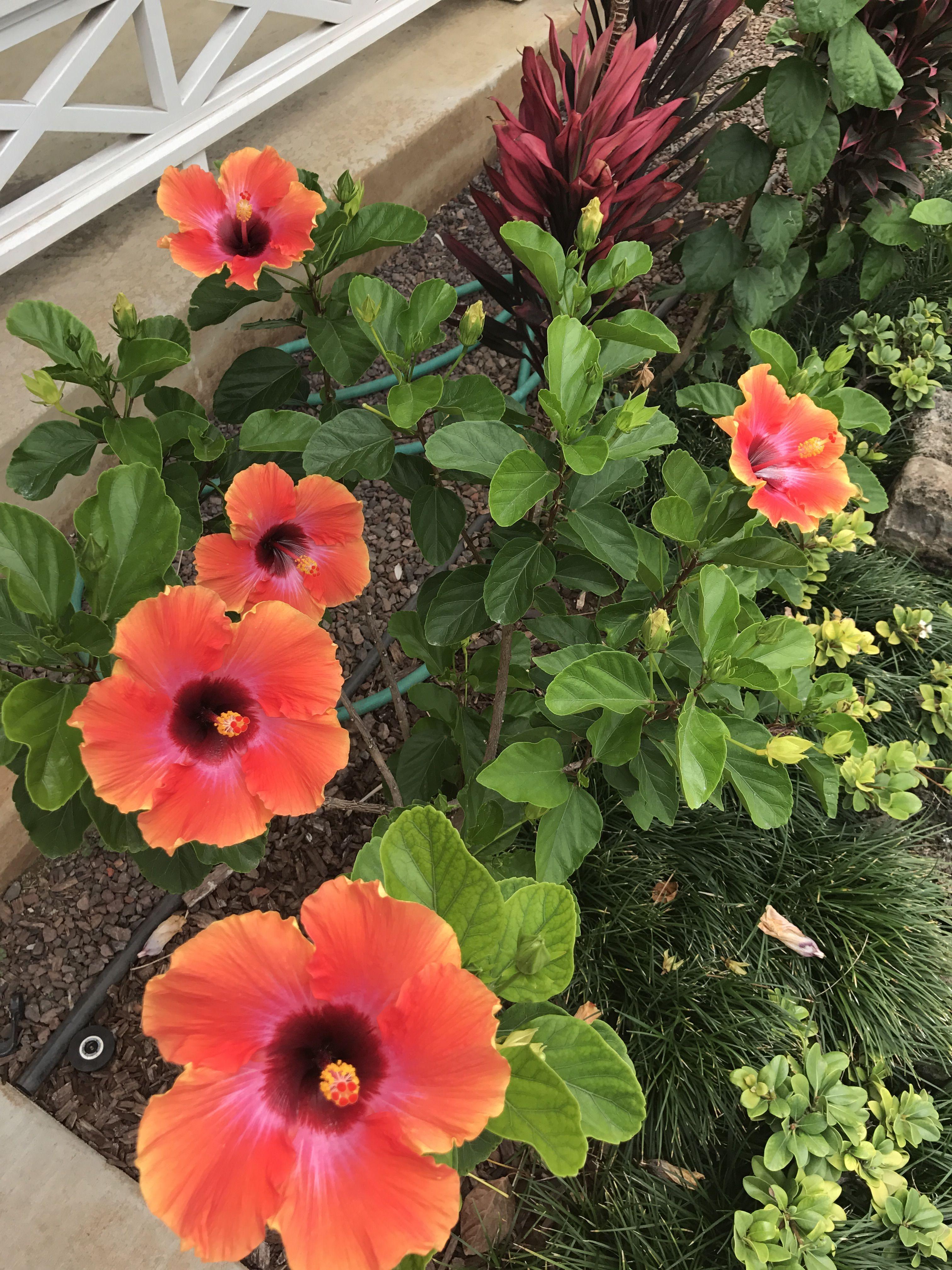 Cosmic Dancer Hibiscus   Hibiscus   Pinterest   Hibiscus, Flowers ...