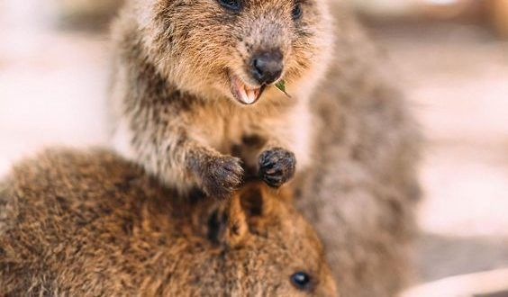 Quokka - Facts, Information and Pictures | Quokka, Happy ...