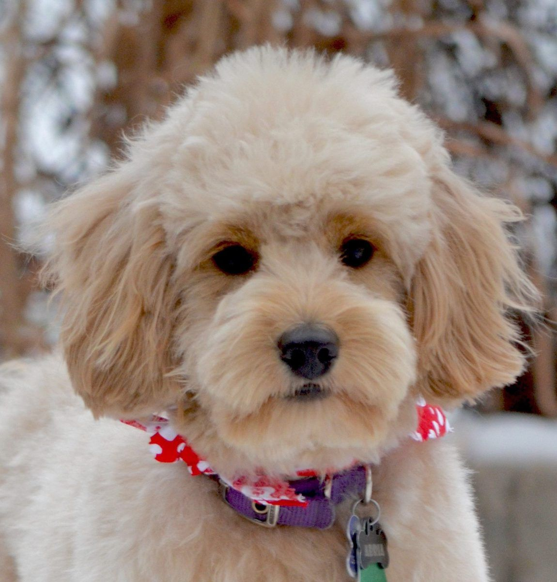 Your Cute Fluffy Goldendoodle Puppy Is Turning Into A Long Haired