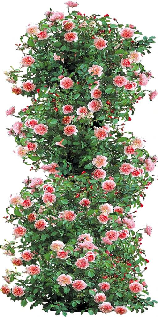 Anne boleyn climbing rose by lilipilyspirit on deviantart for Piante rampicanti finte