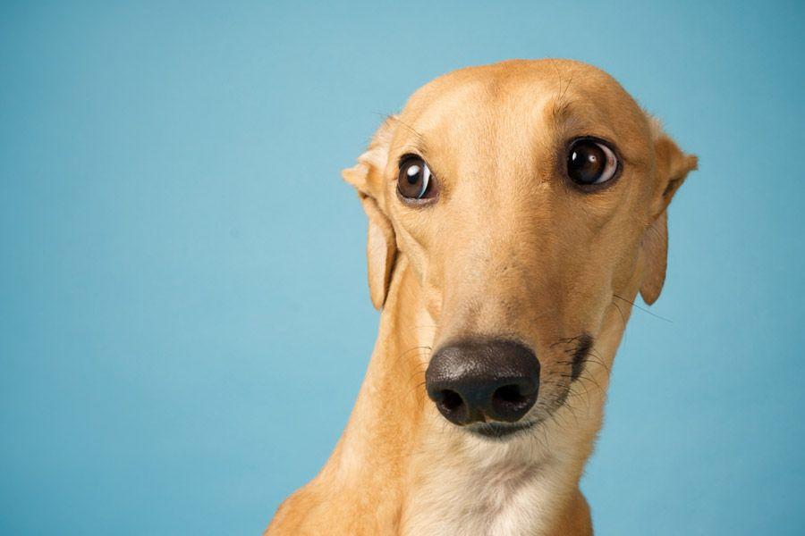 Mugshots Sarah Beth Photography Minneapolis Saint Paul Minnesota Dog Pet Photographer Studio Pet Photography Grey Hound Dog Dog Photograph Greyhound