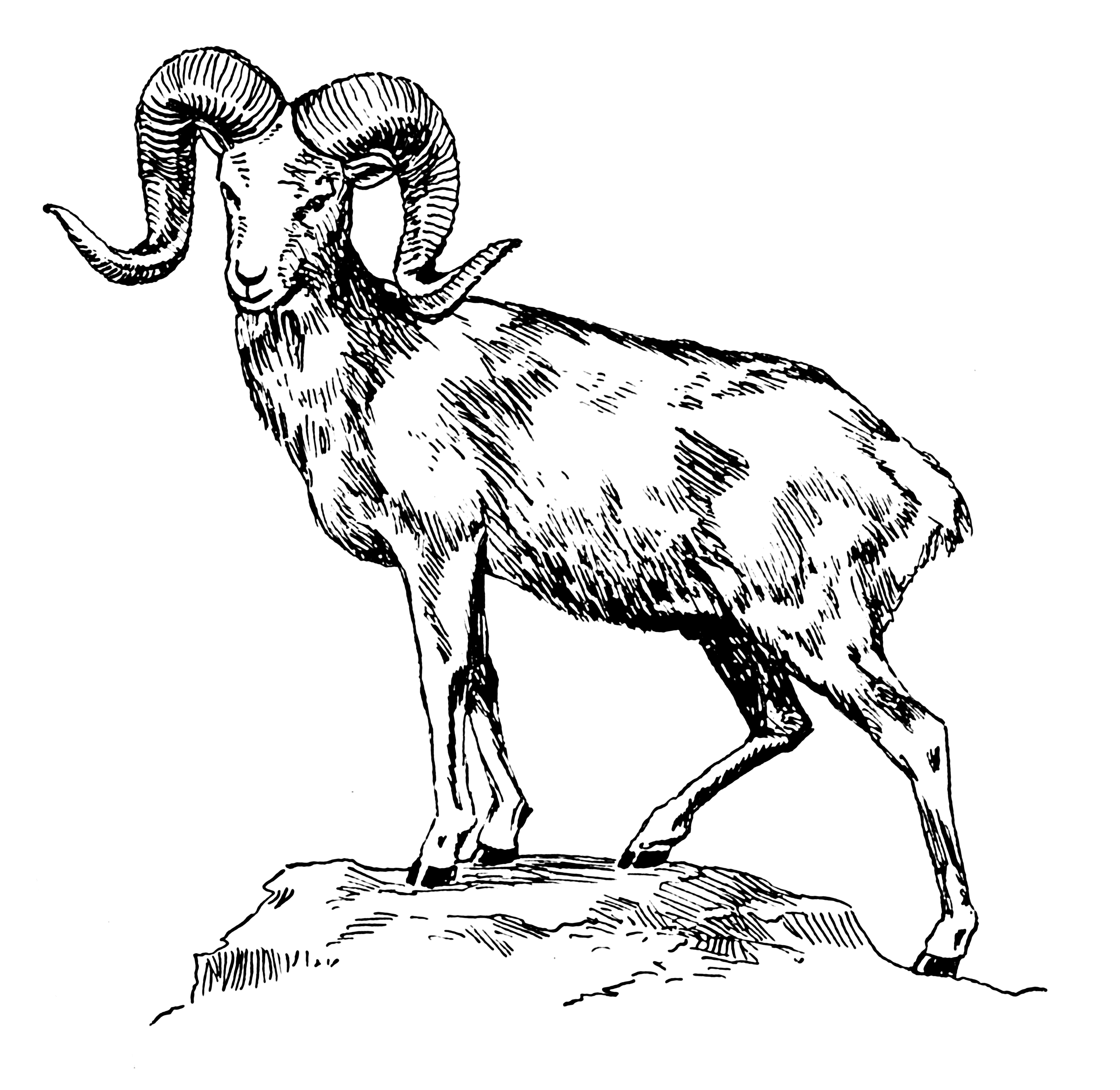Argali You Mess With The Ram You Get The Horns Big Horn Sheep Sheep Drawing Drawings