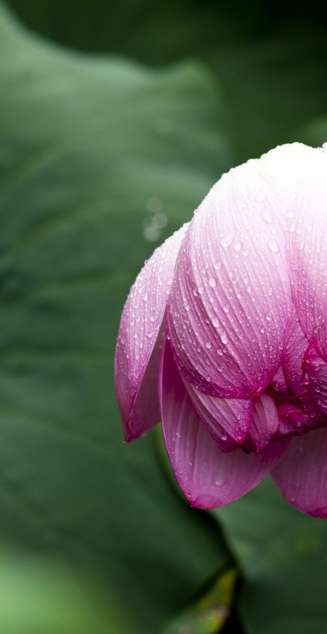 Lotus Leaf Nature Flowers Greenness 꽃