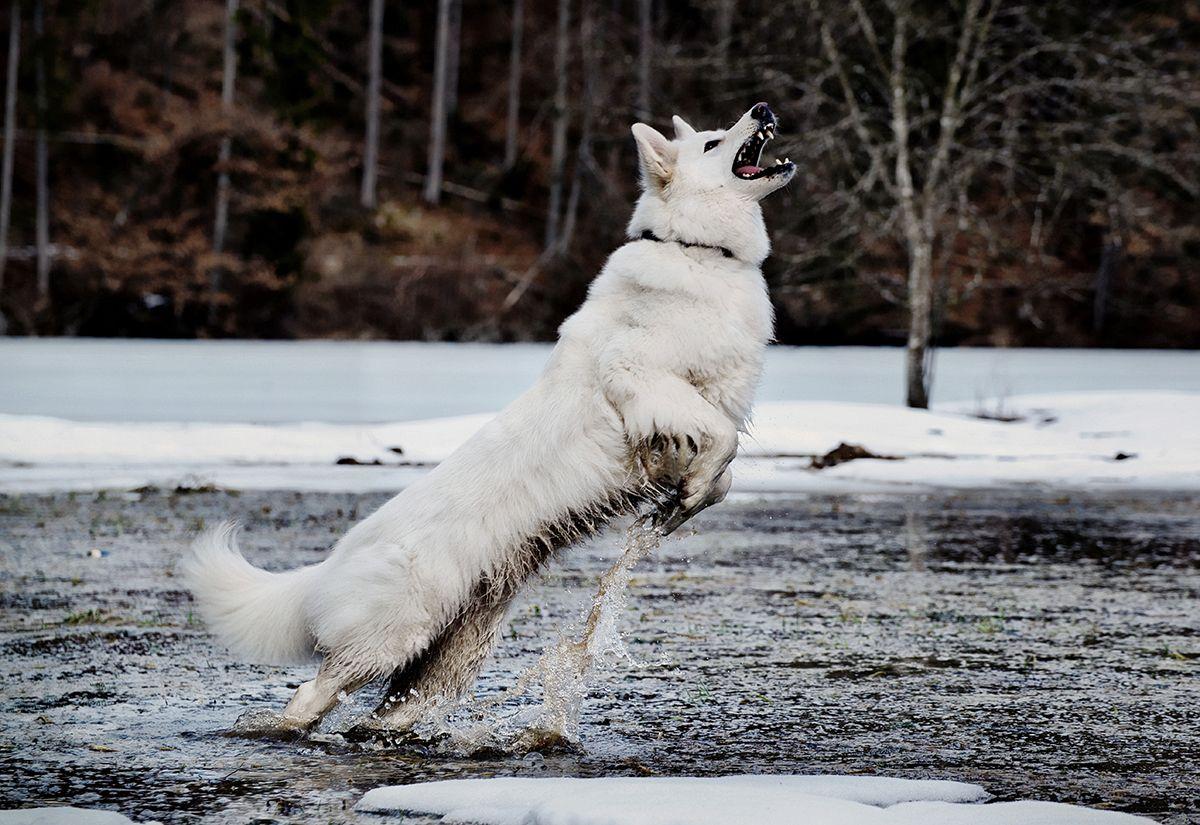 Vom Zauber Weisser Schaferhunde Weisser Schaferhund Schaferhunde