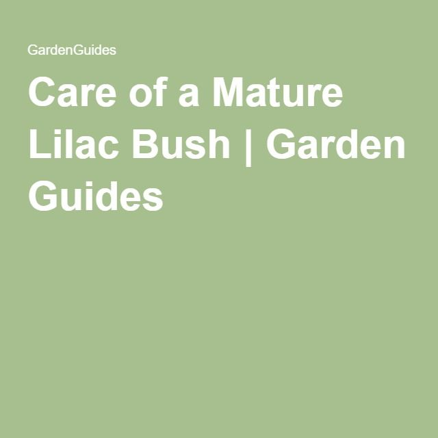 Care for a mature lilac bush