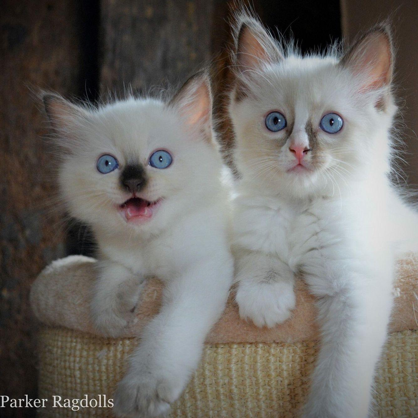 Www Parkerragdolls Co Uk Ragdoll Kittens For Sale In Devon Gorgeous Babies Ragdoll Kittens For Sale Cute Cats Cute Animals