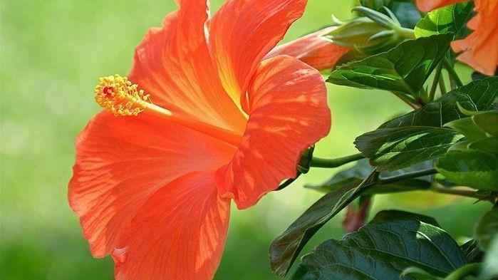 orange-hibiscus-wide-wallpaper-18012 (700x393, 45Kb)