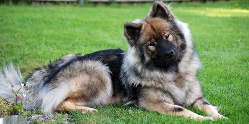 Eurasier Snow Dogs Dog List Dogs