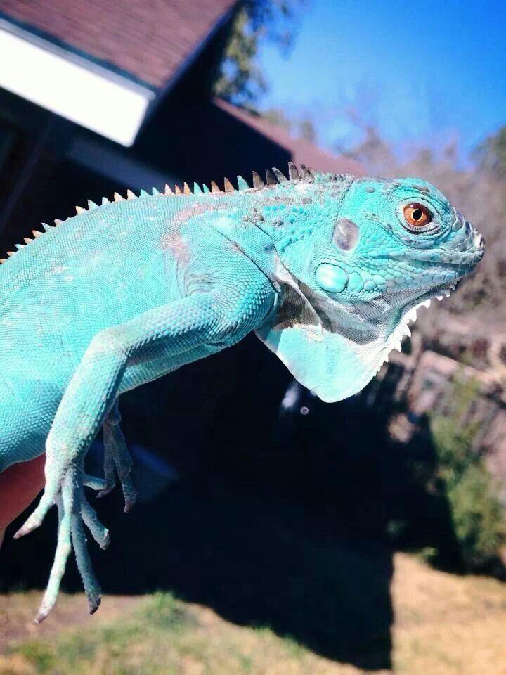Blue Morph Iguana