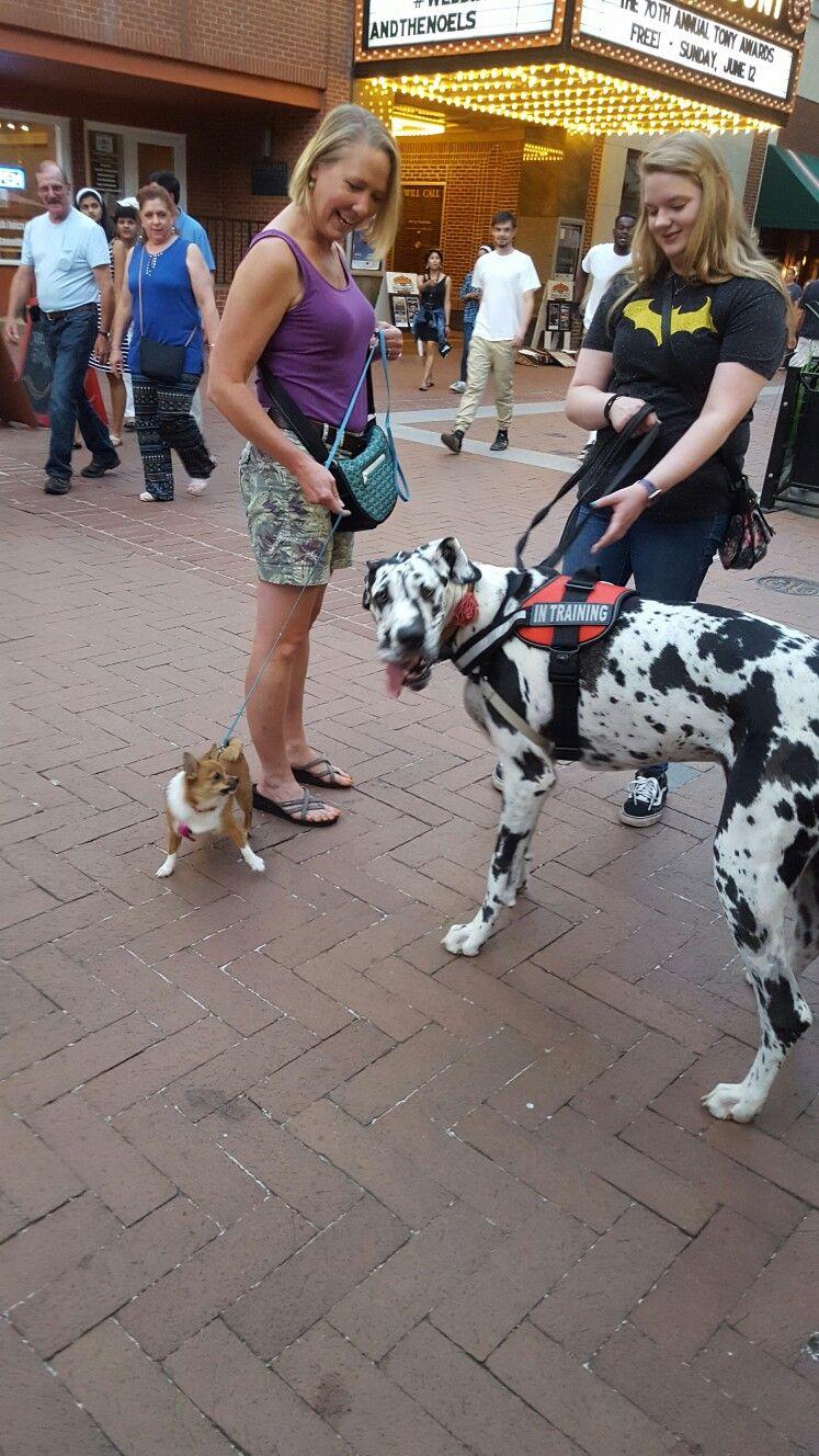 Sweet Annie Corgi Pomeranian Mix Meets Great Dane First Time