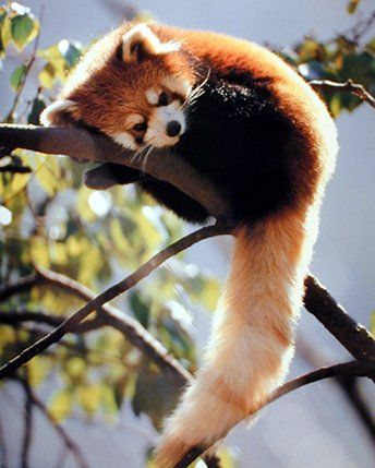 Awww :3 I think red pandas are my new favorite animal ! They are so cute and fluffy I'm gonna die !