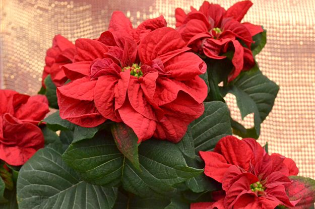 This Is An Unusual Variety Of Poinsettia The Double Ruffle On This Poinsettia Makes It Look Like A Rose Hence T Poinsettia Plant Poinsettia Beautiful Flowers