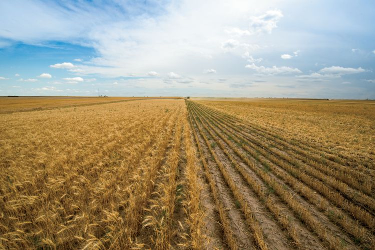 Can you name the six major types of wheat? Read Ag 101 for more: http://ffanewhorizons.org/ag-101-agriculture-facts-wheat/